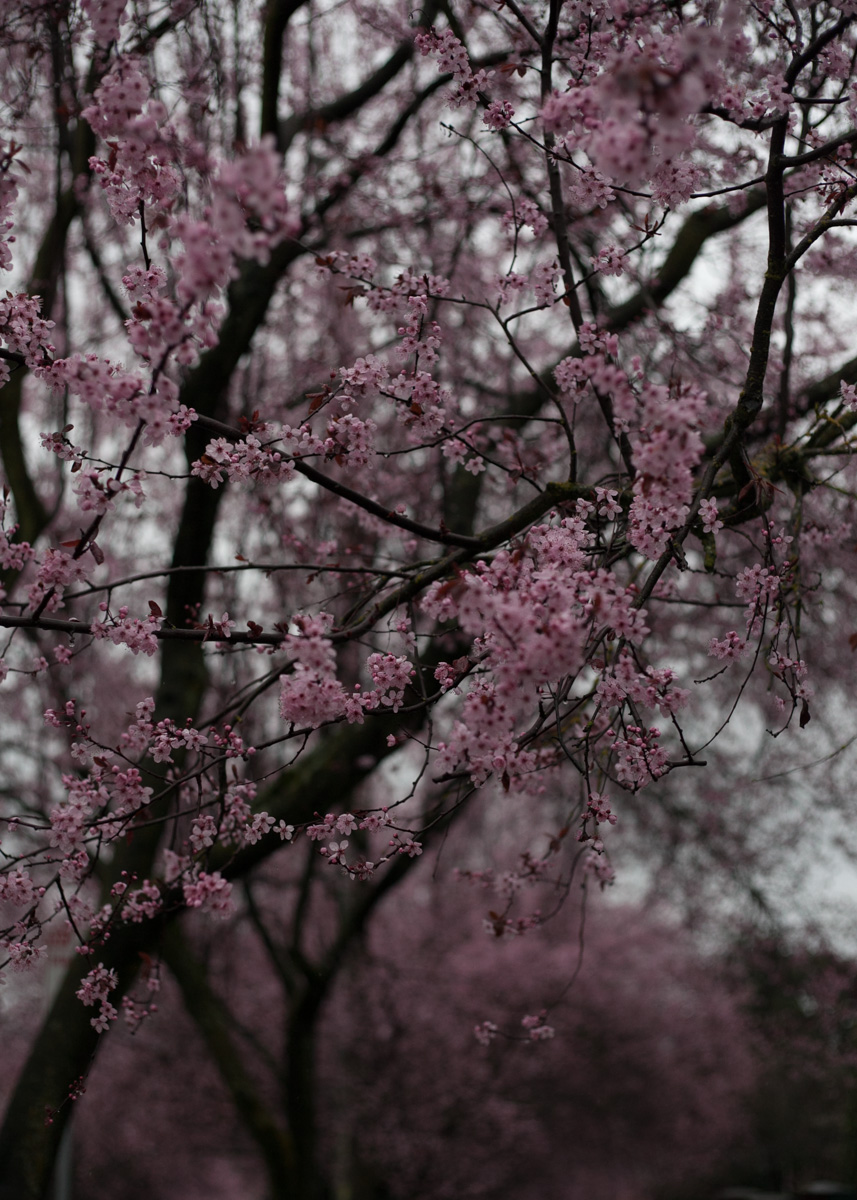 cherry-blossoms-capitol-hill-seattle.jpg