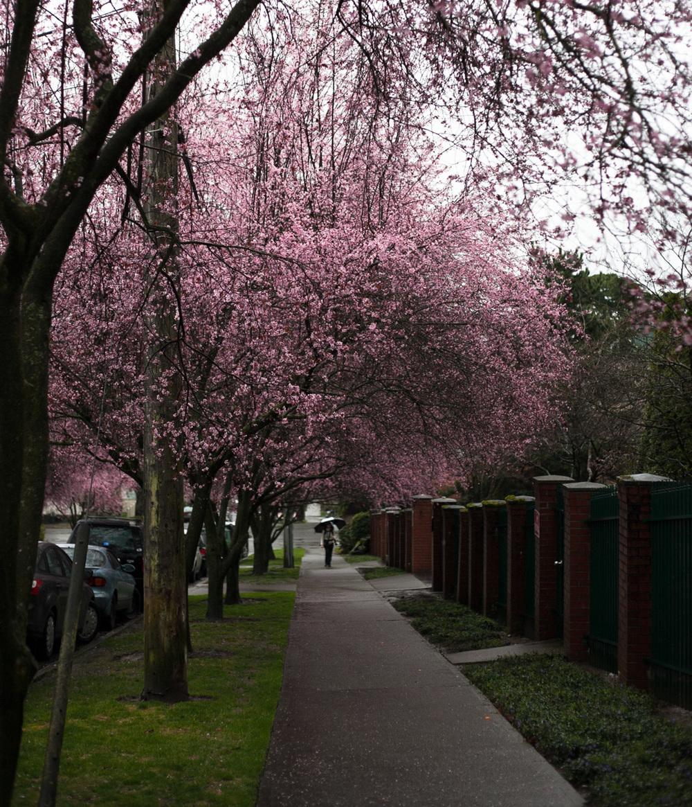 capitol-hill-cherry-blossoms-annette-rotz.jpg