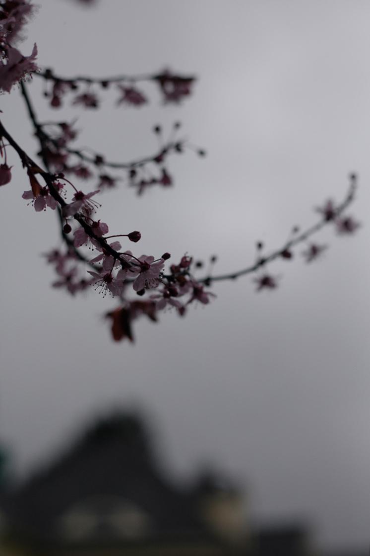seattle-cherry-blossom-annette-rotz