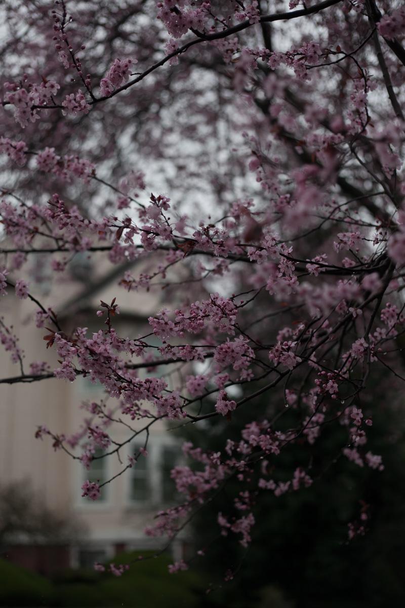seattle-cherry-blossom-annette-rotz.jpg