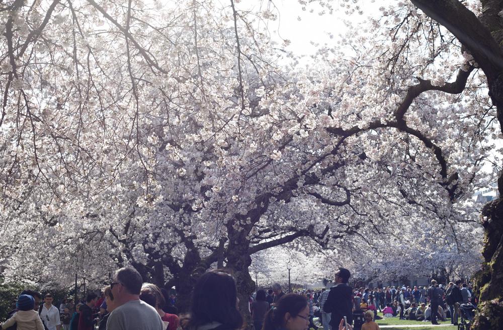 cherry-trees-uw-annette-rotz.jpg