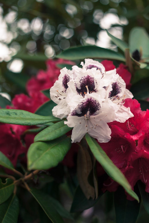 rhododendron_annetterotz.jpg