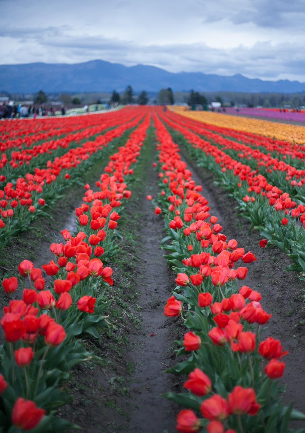skagit-tulip-rows_annette-rotz.jpg