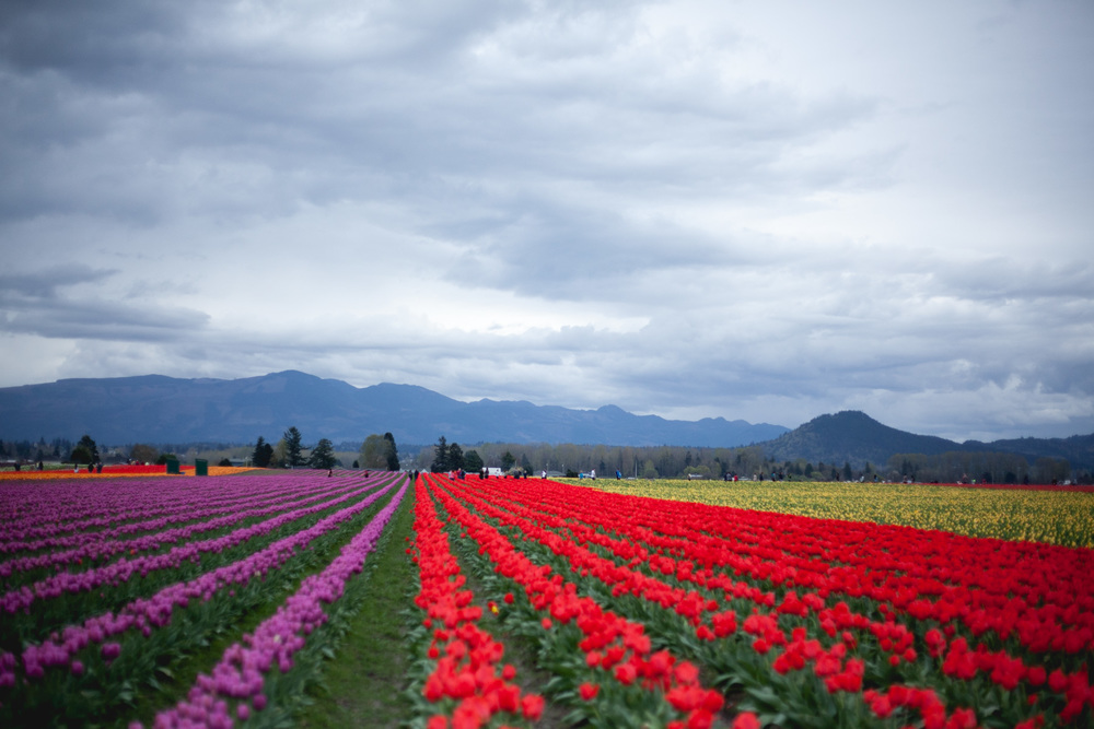skagit-tulip-festival-2_annette-rotz.jpg