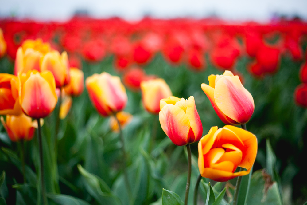 skagit-tulips-orange-red_annette-rotz.jpg