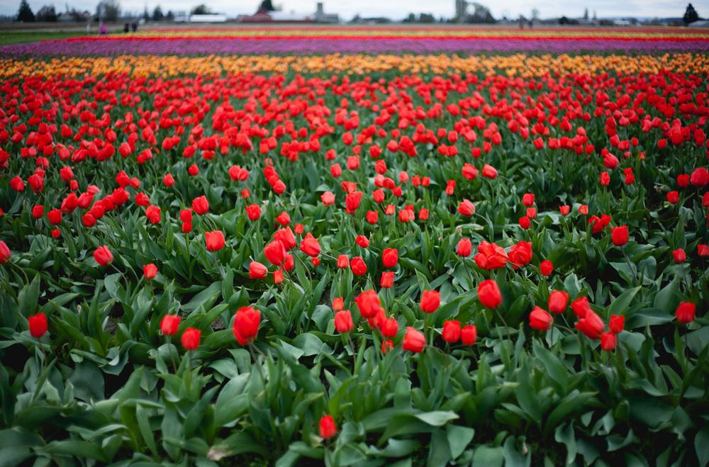 skagit-tulip-field_annette-rotz.jpg