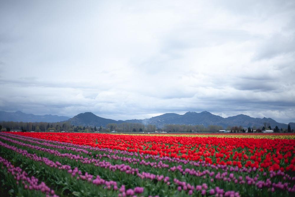 skagit-tulip-colors_annette-rotz.jpg
