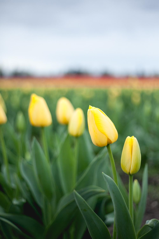 skagit-yellow-tulips_annette-rotz.jpg