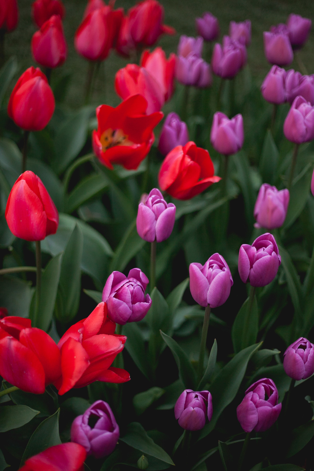 skagit-tulips-red-purple_annette-rotz.jpg