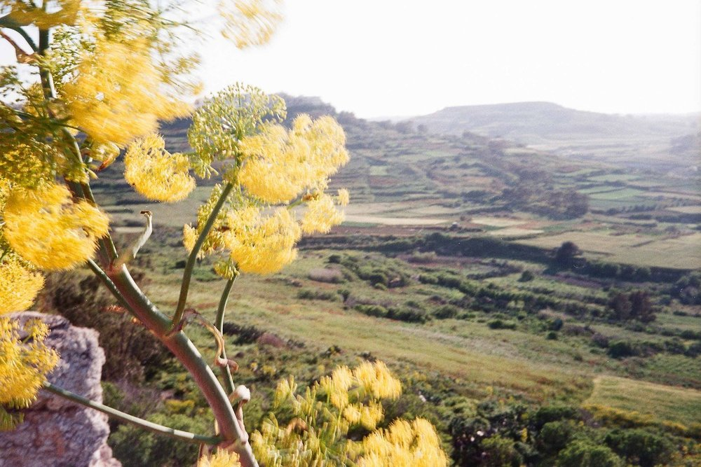 Wild Fennel, Gozo Island  April 2017