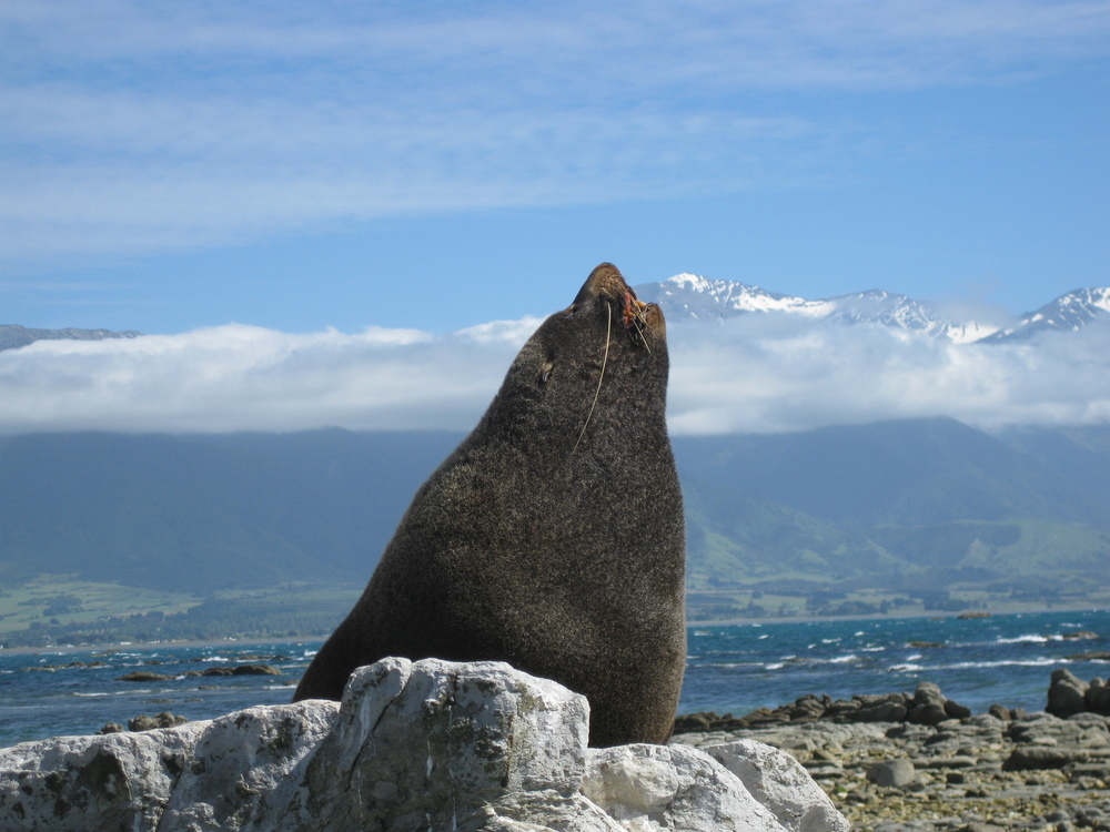 A sea lion in Kaikoura, New Zealand