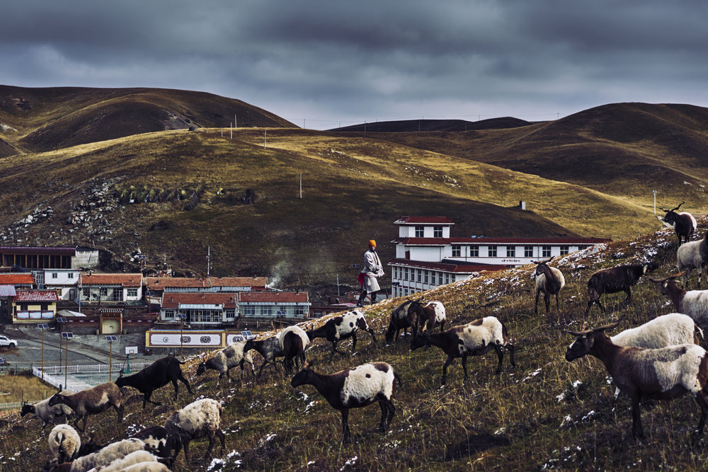 Nomad Herding Sheep in the Morning