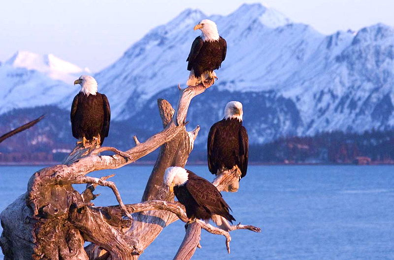 800px-Bald_Eagles_Homer_Alaska_USA.jpg