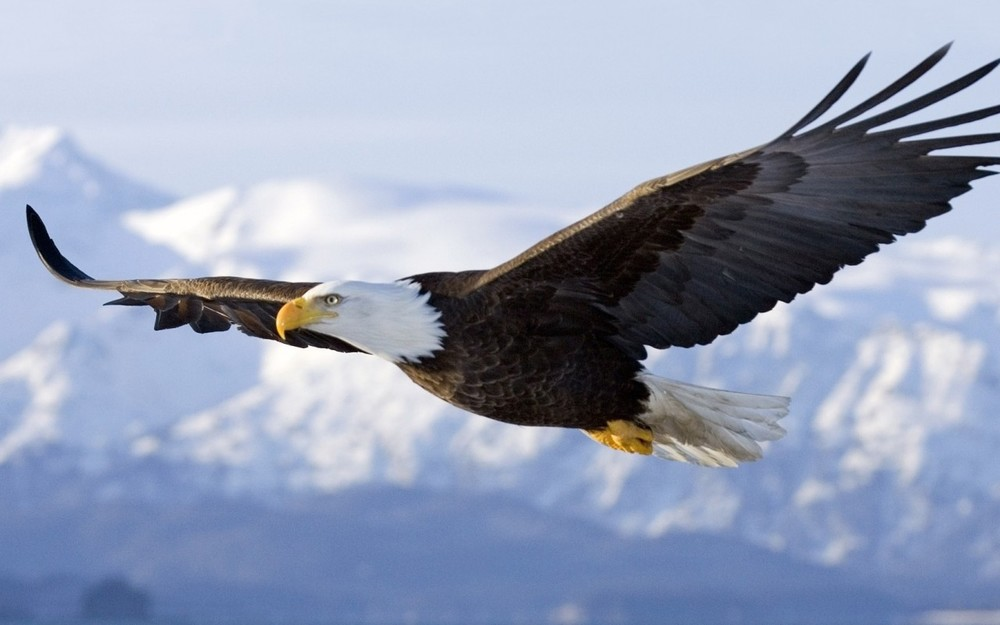 Eagle-HD-Images-1280x800-7.jpg