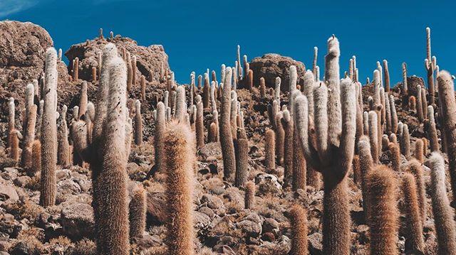 Cacti  Uyuni 23.12.17
