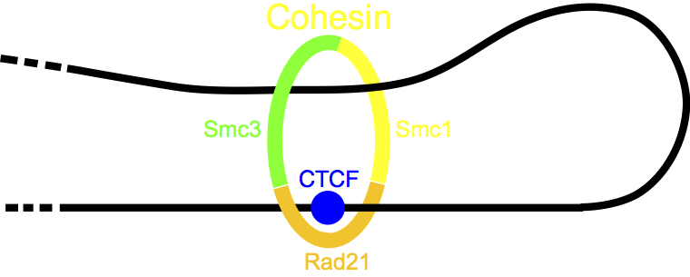 ctcf.jpg