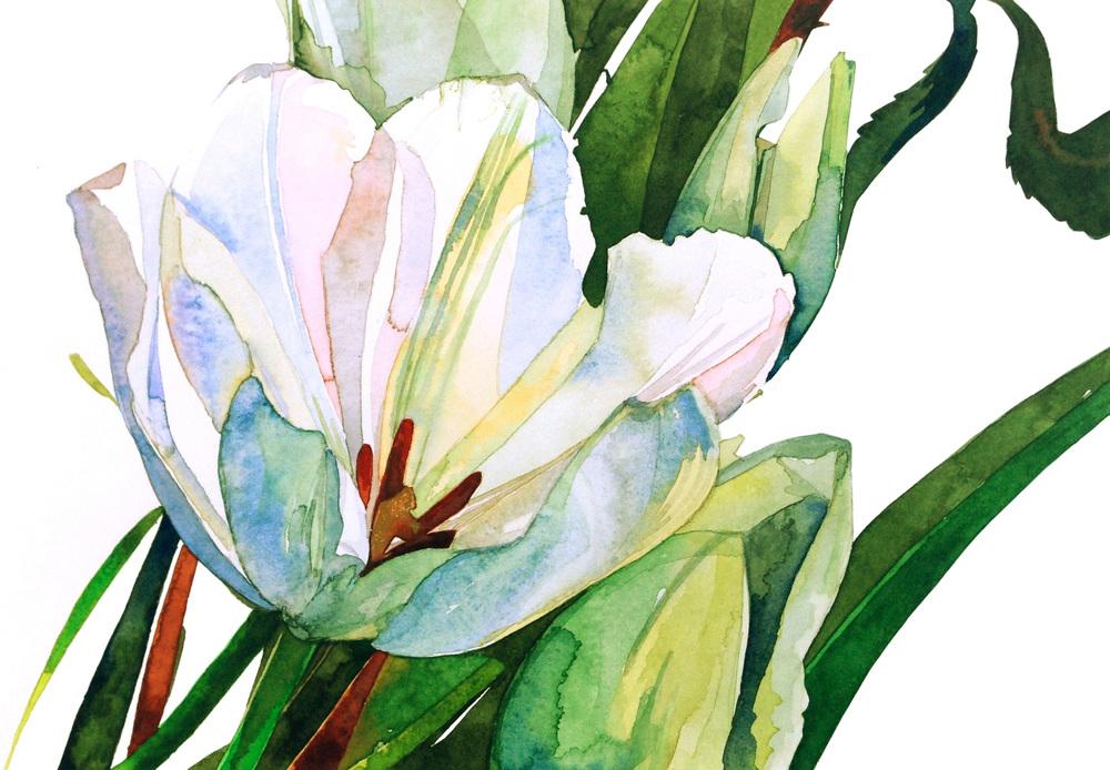 white:  tulip