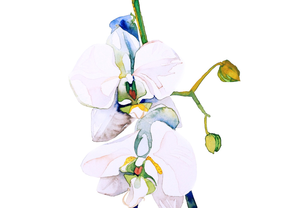 white:  orchid