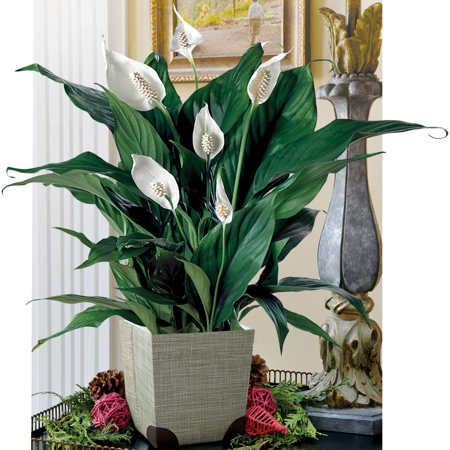 This peace lily is pretty  and  helps purify the air in your home!