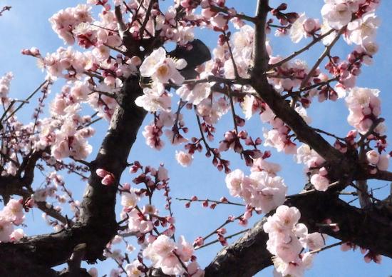 ふわふわピンクを見ていると、本当に癒されるSAKURA
