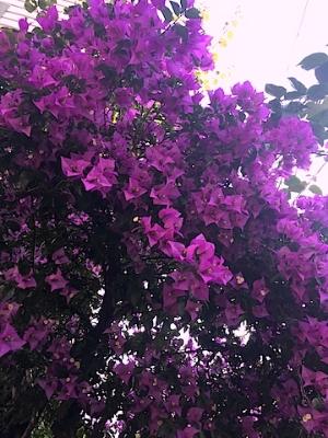 ブーゲンビリア・・ハワイを思い出す大好きな花。夏はもうすぐ♡