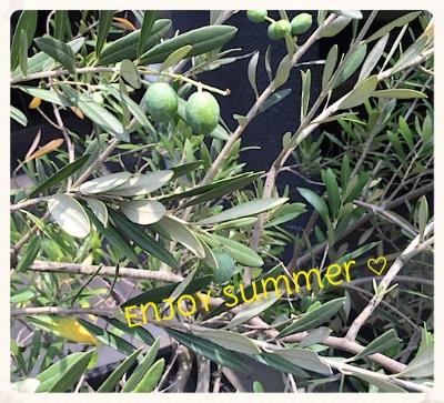 平和という花言葉を持ち、太陽を浴びて力強く育つオリーブは大好きな木 夏でもパワフルに強く優しく。。