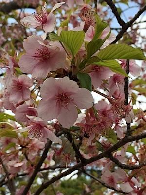 やっと芽吹いた桜も寒い日に戻ると、かわいそう。。な感じ。。