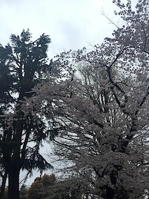 近くの氏神さまの桜