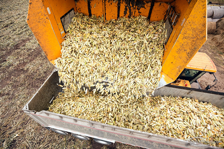 IMG_9036-SS_Sweet_Corn_Harvest_Dump_Cart.jpg