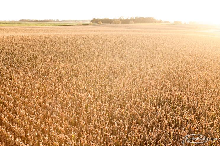 IMG_7558_SS-Fall-Cornfield-Sun.jpg