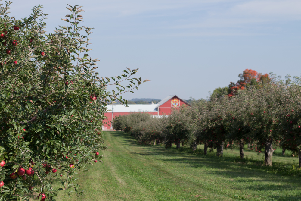 apple picking 10