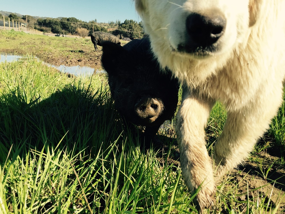 pigs and dog