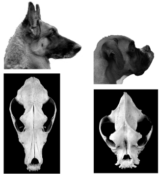 """Comparison of photographs (Photos Mary Bloom, courtesy of AKC) and skulls from a German Shepherd Dog with a wild-type skull shape (non-brachycephalic) and a brachycephalic Boxer.""- (5)"