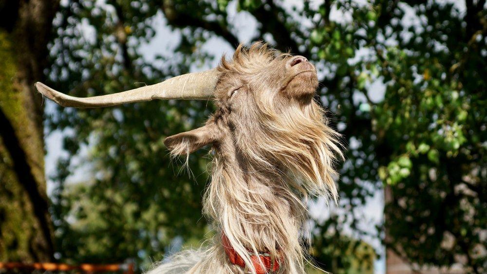 goat-2740276_1920 (1).jpg