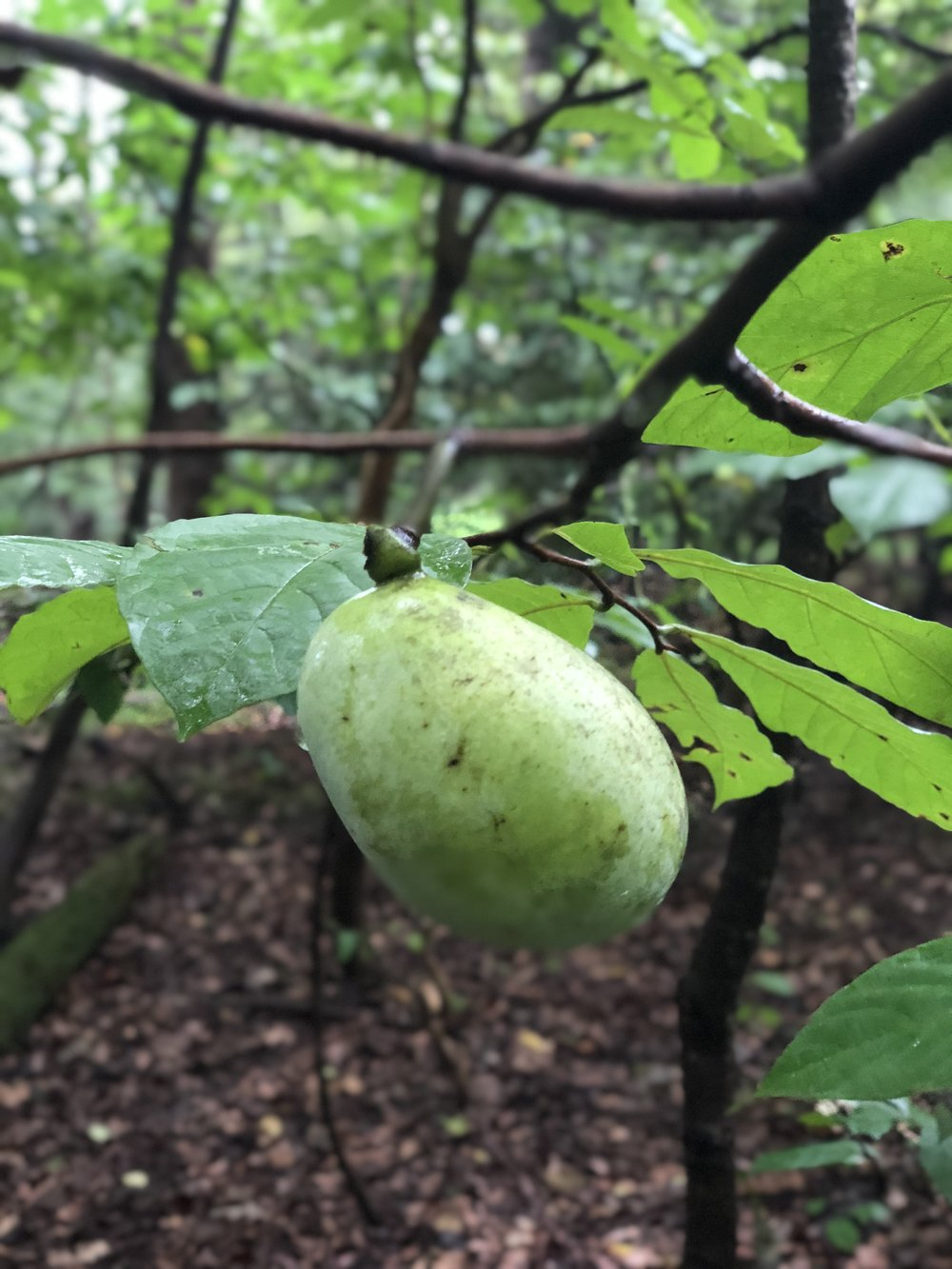 Pawpaw fruit.jpg