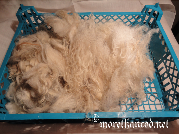 Rinsed and ready to be combed- Old Norwegian Spelsau