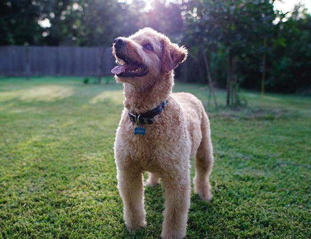 golden hour 🌅 goldendoodle . . . . . . . . . 📸: @thereginaldcharles & @canidogwalkingco  #teddy #goldendoodle #houston #houstontexas #houstonpetsitting #houstondogwalking #houstondogwalker #houstonpetsitter #dogwalker #dogwalking #petsitting #dogsofinstagram #dogs #dog #puppy #dogsofhouston #houstondogs #houstonpets #canidogwalkingco #dogsilove #doglovers #instagood #dailydogs #dailydog  #igdogs #photography #houstonphotography #dogphotography #nature #canonusa