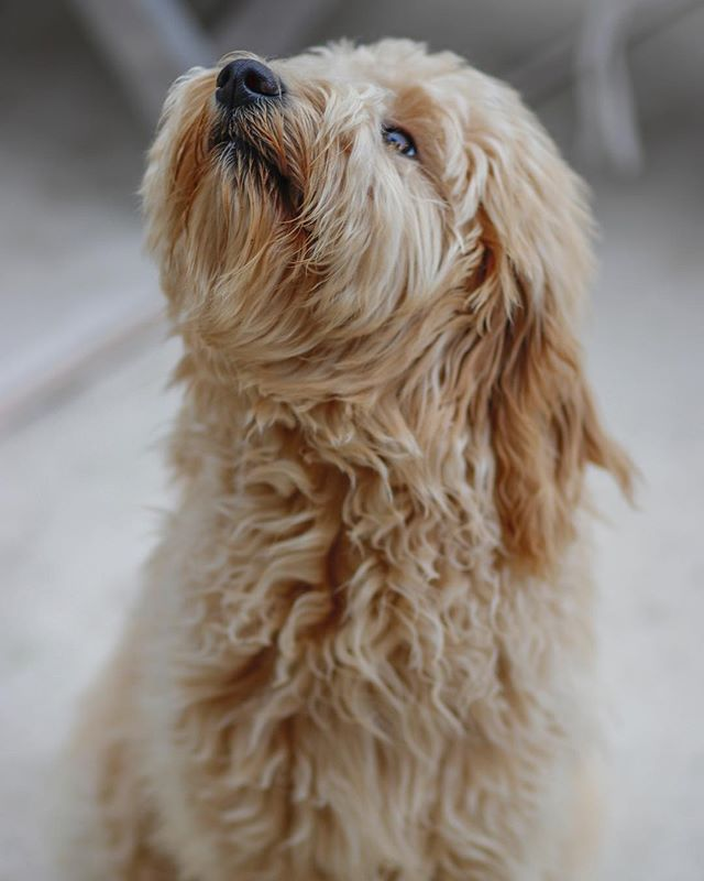 Scarlet is pretty glamorous 🐩👑 . . . . . . . . . . 📸: @thereginaldcharles  #scarlet #goldendoodle #puppy #canidogwalkingco #houston #houstontexas #houstonpetsitting #houstondogwalking #houstondogwalker #houstonpetsitter #dogwalker #dogwalking #petsitting #dogsofinstagram #dogs #dog #dogsofhouston #houstondogs #houstonpets #doglove #doglovers #instagood #dailydogs #dailydog  #igdogs #photography #houstonphotography #dogphotography #nature #canonusa
