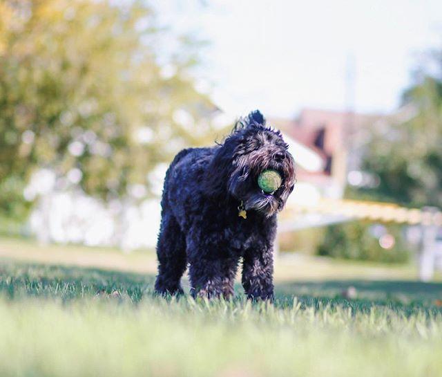 Fitzgerald: fetch expert 🎾 . . . . . . . . . #Fitzgerald #labradoodle #canidogwalkingco #houston #houstontexas #houstonpetsitting #houstondogwalking #houstondogwalker #houstonpetsitter #dogwalker #dogwalking #petsitting #catsofinstagram #dogs #dogs #dogsofhouston #houstondogs #houstonpets #doglove #doglovers #instagood #dailydogs #dailydog  #igdogs #photography #houstonphotography #dogphotography #nature #canonusa