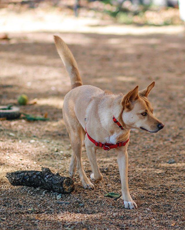 The dog park is your oyster, Pearl! 🌏 . . . . . . . . . #pearl #canidogwalkingco #houston #houstonpetsitting #houstondogwalking #houstondogwalker #houstonpetsitter #dogwalker #dogwalking #petsitting #dogsofinstagram #dogs #dogs #dogsofhouston #houstondogs #houstonpets #doglove #doglovers #instagood #dailydogs #dailydog  #igdogs #photography #houstonphotography #dogphotography #nature #canonusa