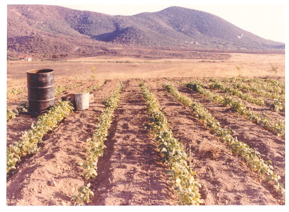 Primera siembra de sandías a principios de los años ochenta.