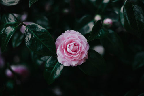 Pink Camellia Photo by Jake Braught.jpg