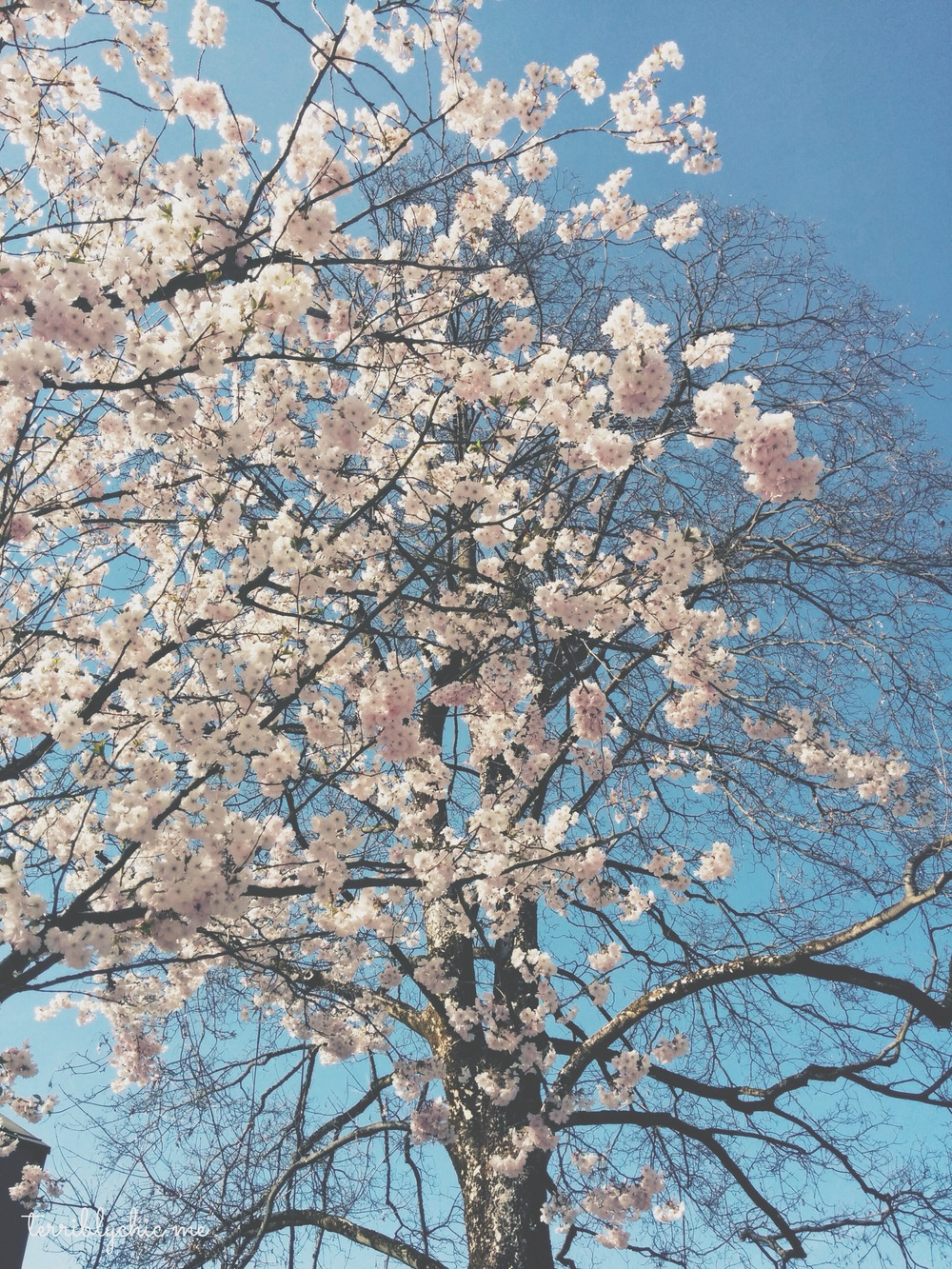 a blossomed tree that I saw somewhere as I stroll around.
