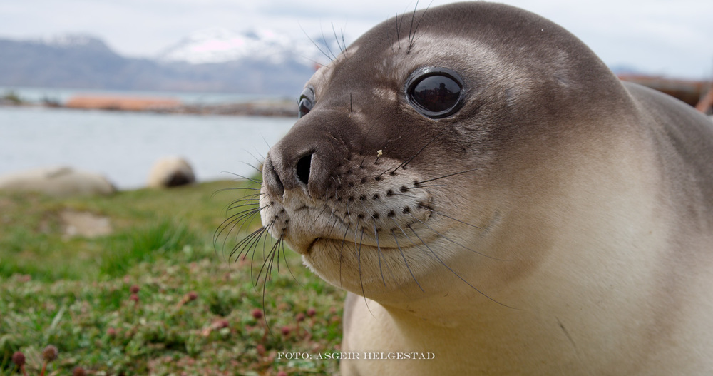 Young elephant seal at South Georgia.
