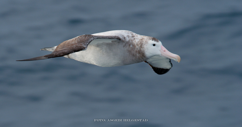 A dream come true when this bird come alongside the ship. Wandering Albatross kmown to be the bird who has the wides wingspan of all birds - up to 3.6 meters. The length of this bird  is about 1.3 meters.