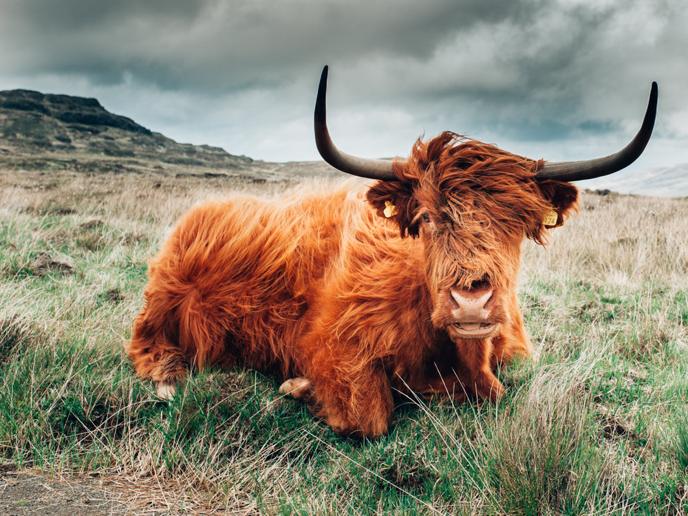 highland cattle Island of rum-1.jpg