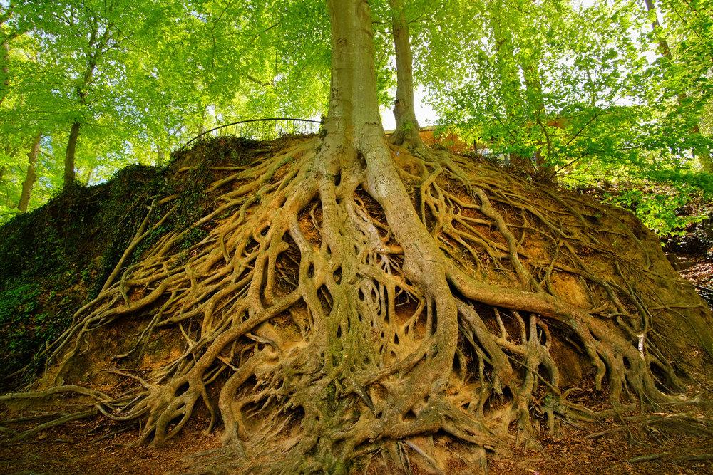 Medusa Tree in Falls Park