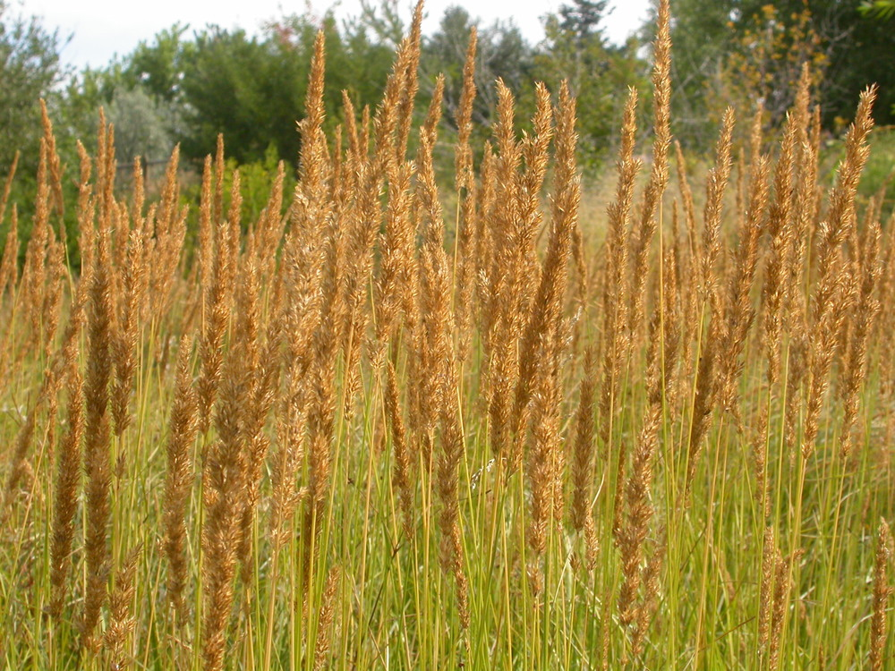Our notes landstylist for Ornamental grass that looks like wheat