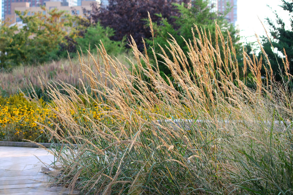 Winter Grass: Calamagrostis 'karl foerster'