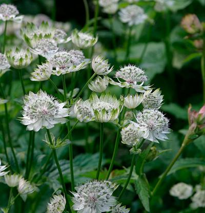 Astrantia Major/ Masterwort View Product Website
